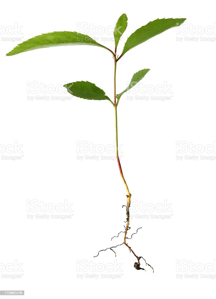 Small Plant with Root System royalty-free stock photo