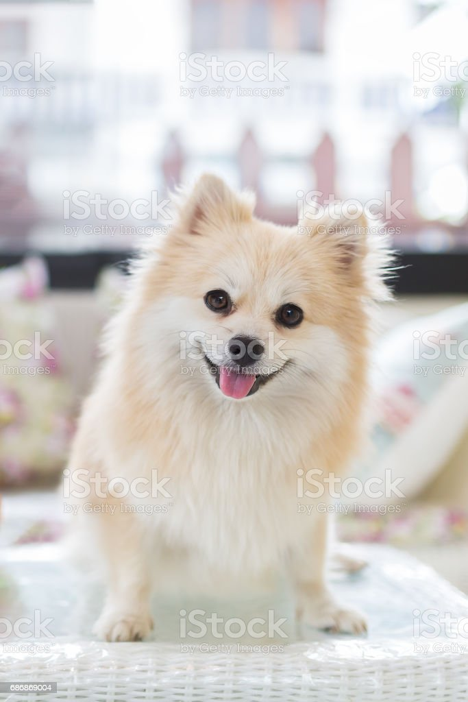 Small Pomeranian puppy dog standing on a white table. stock photo