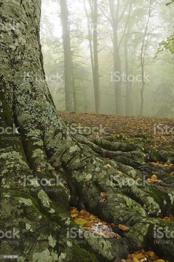 Small pool of rainwater in a beech tree roots royalty-free stock photo