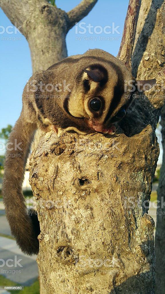 Small possum or sugar glider climb on the tree stock photo