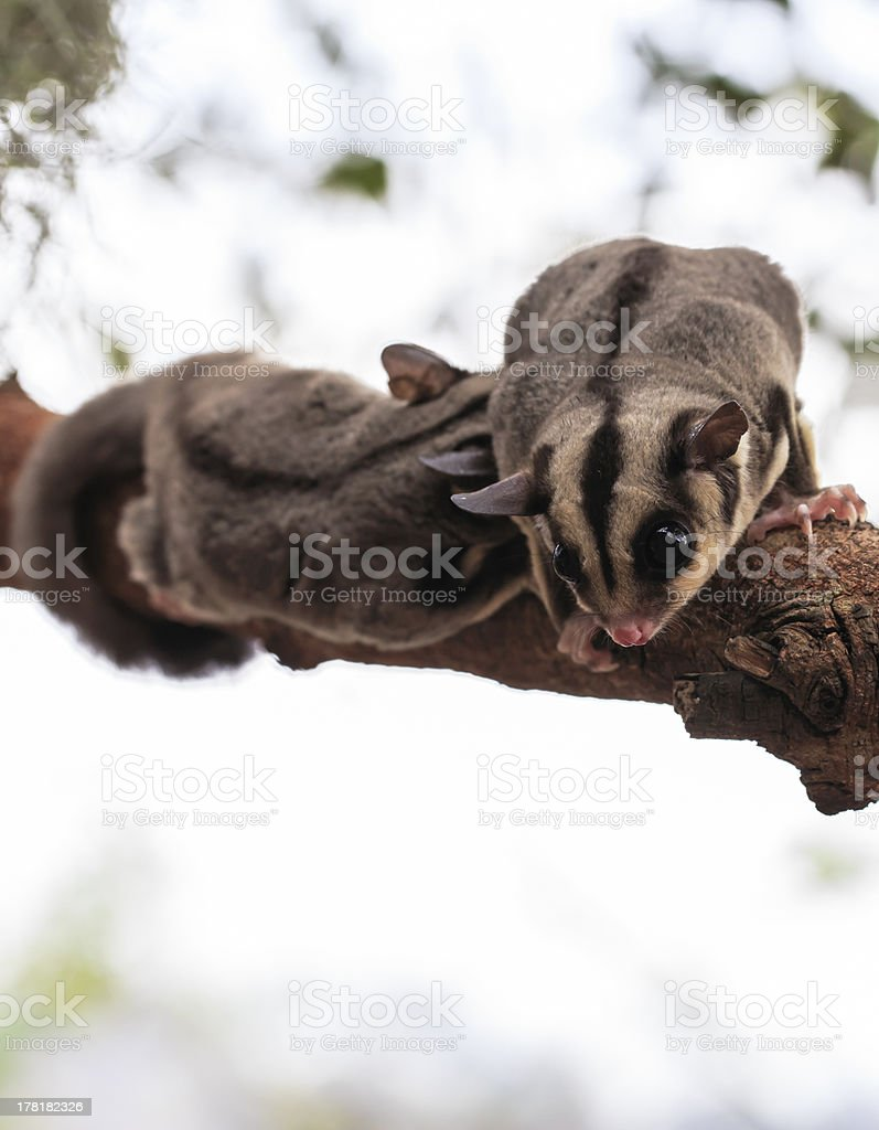 small possum or Sugar Glider royalty-free stock photo