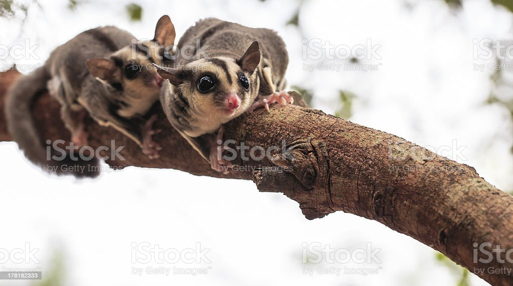 small possum or Sugar Glider stock photo