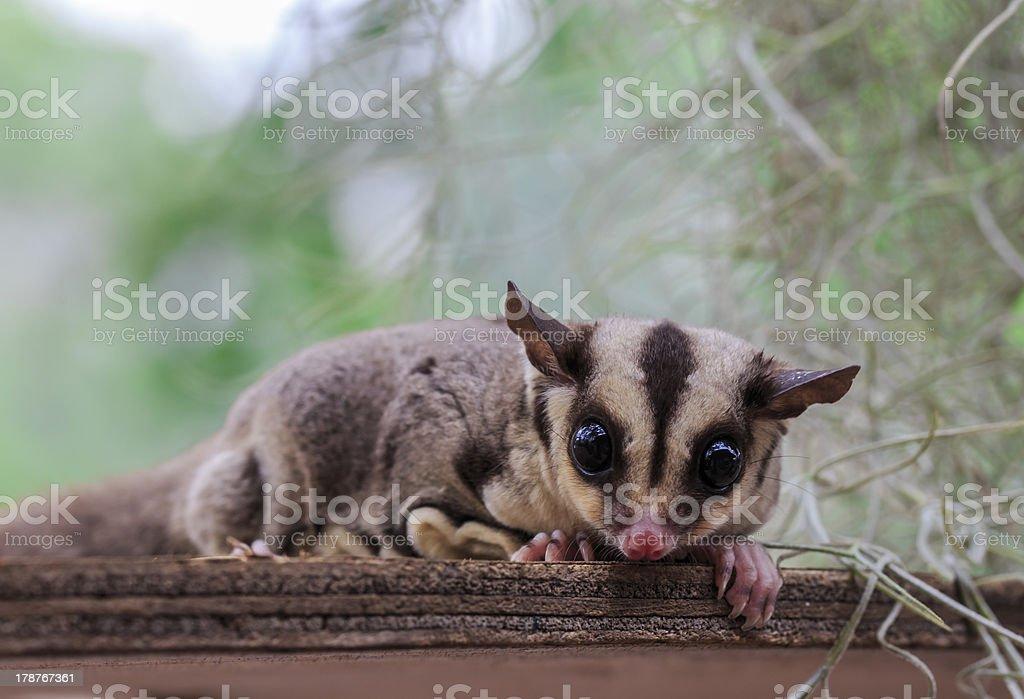 small possum or Sugar Glider stock photo