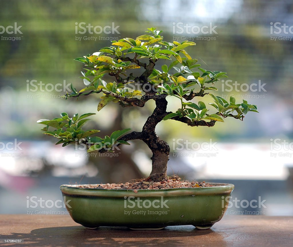 Small potted bonsai tree on a table stock photo