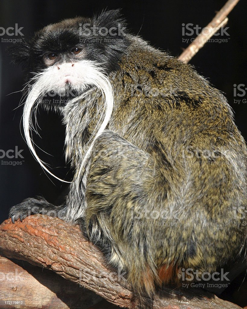 Small Primate royalty-free stock photo