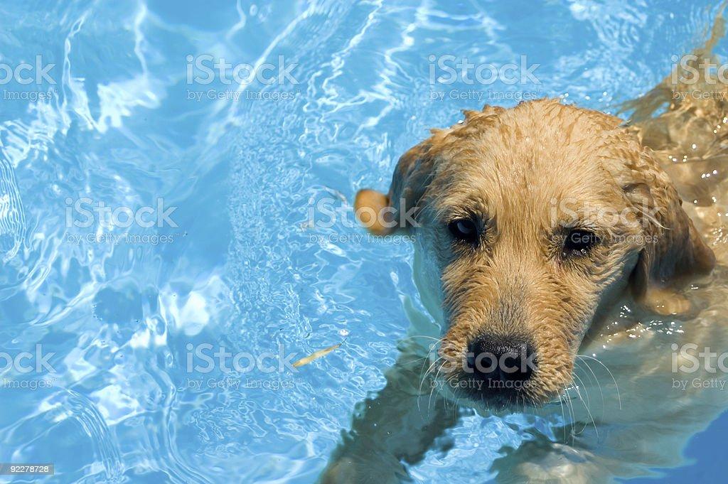 Small puppy enjoying a swim on a sunny day royalty-free stock photo