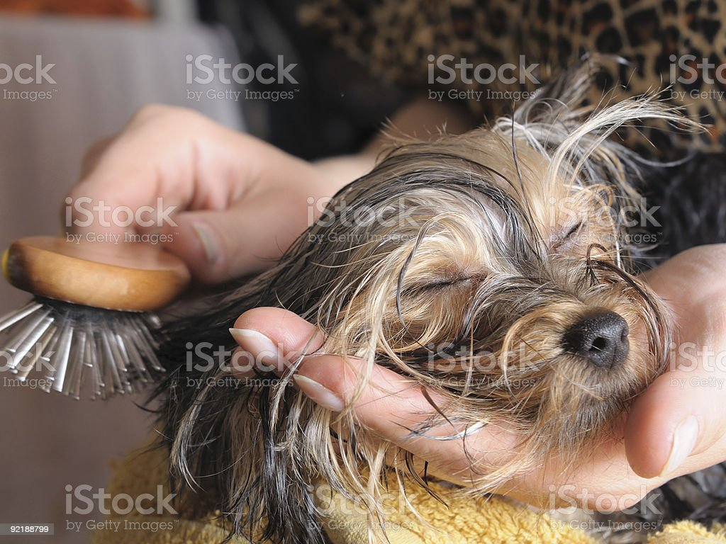 Small puppy getting its fur brushed royalty-free stock photo