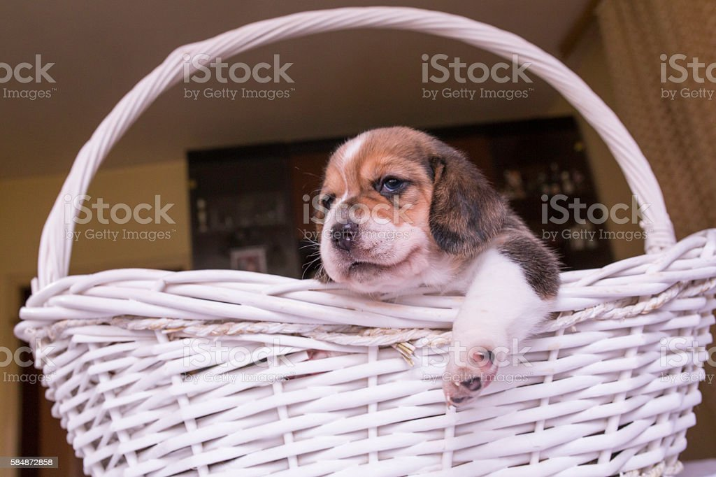 Small puppy in a basket . stock photo