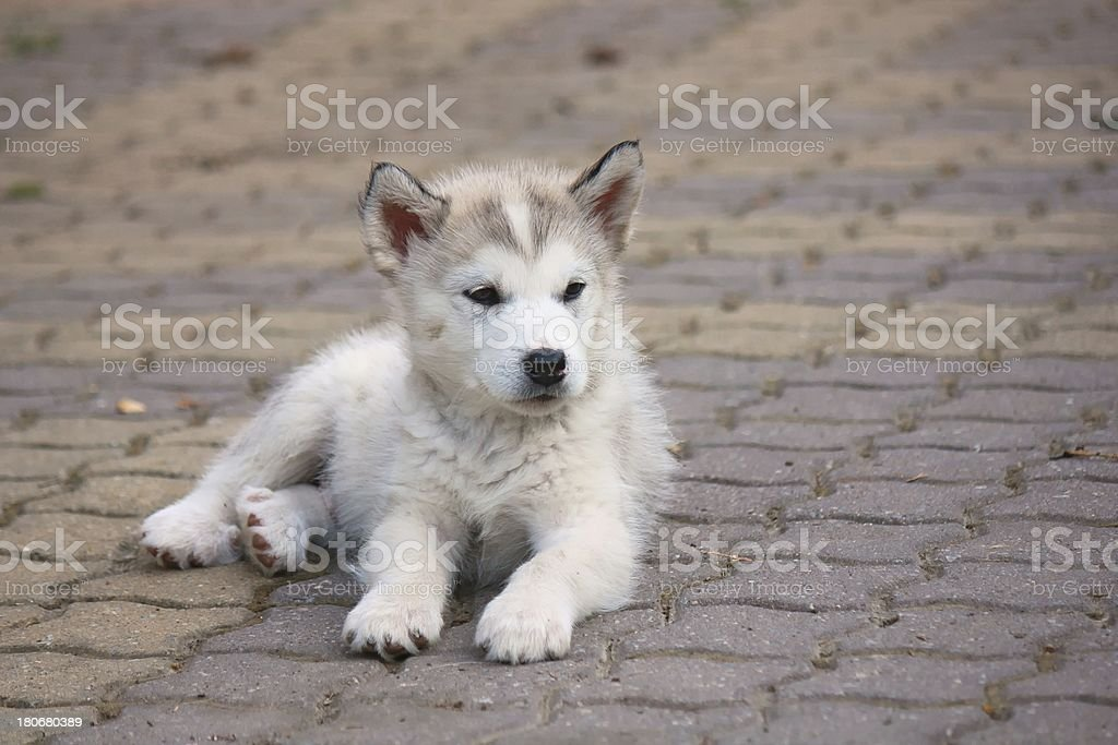 Small puppy royalty-free stock photo
