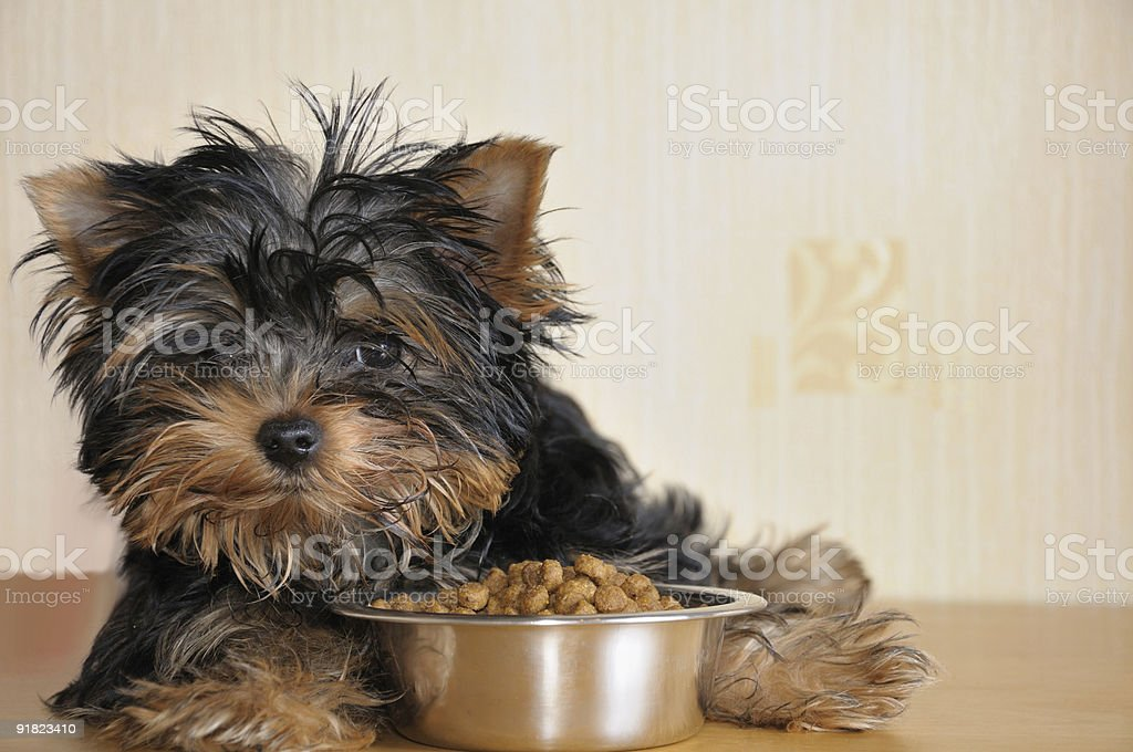 A small puppy sitting by a bowl of food stock photo