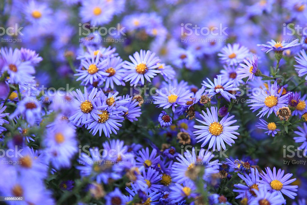small purple asters wildflowers background stock photo