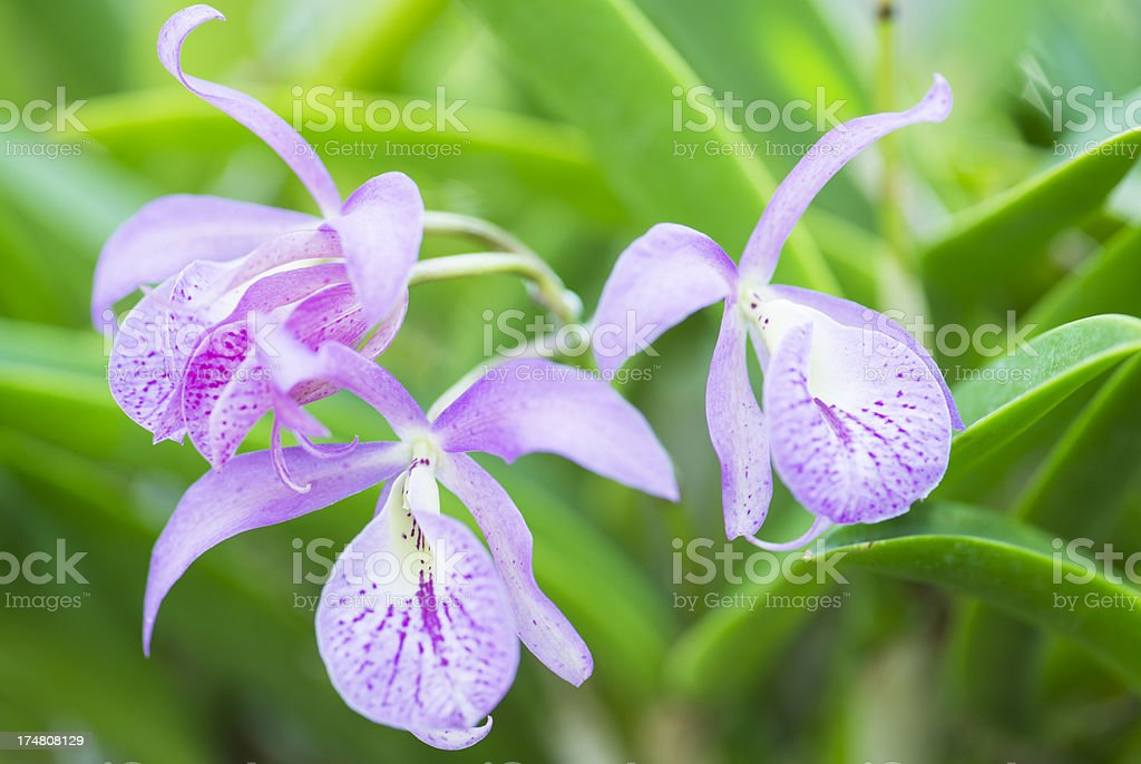 Small Purple Cattleyas stock photo