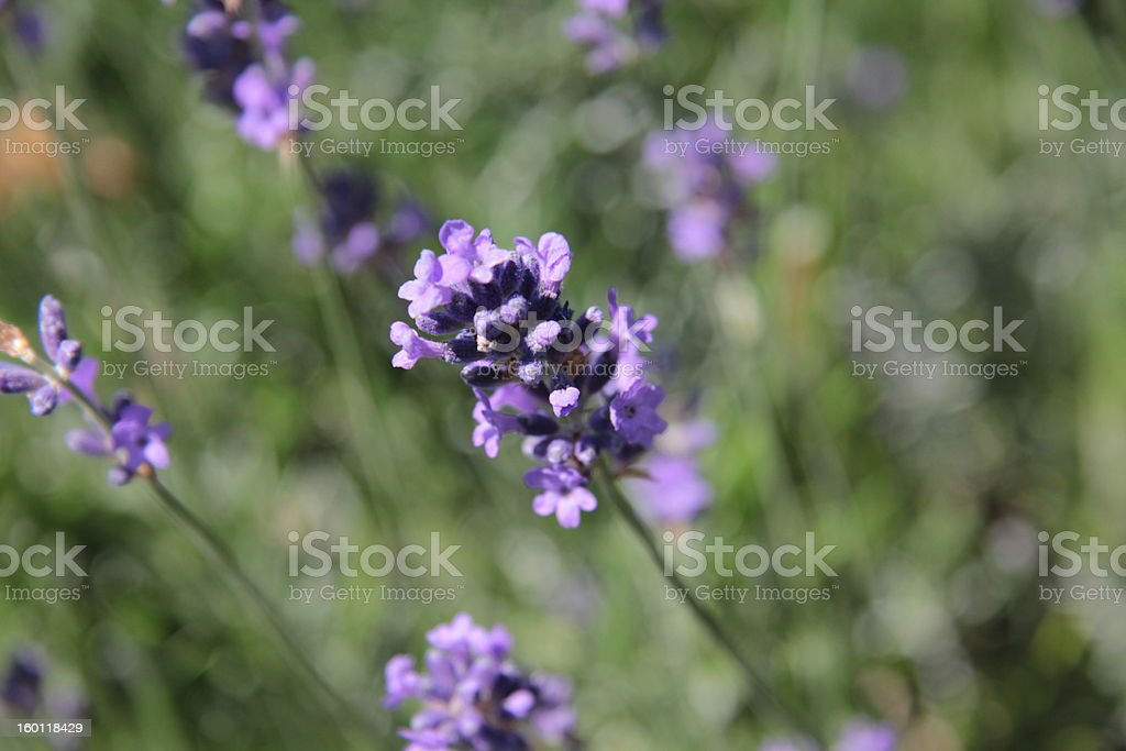 small purple flower at high altitude stock photo