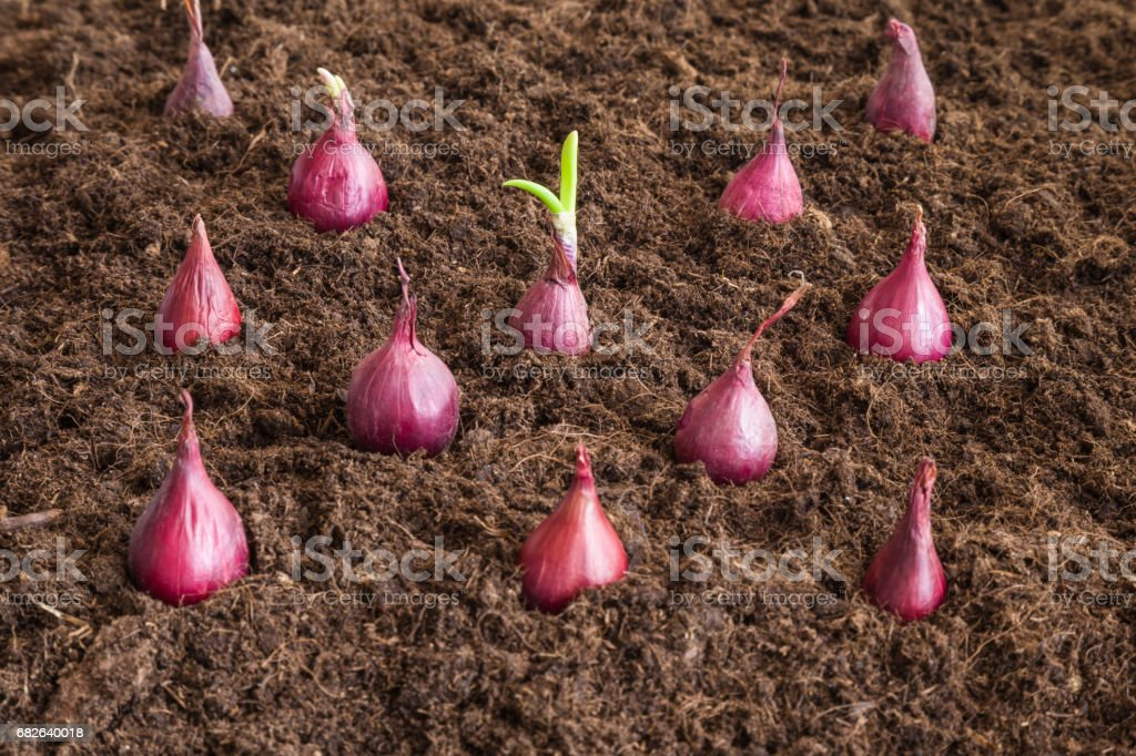 Small, purple onions planting in the ground. Early spring preparations for the garden season. stock photo