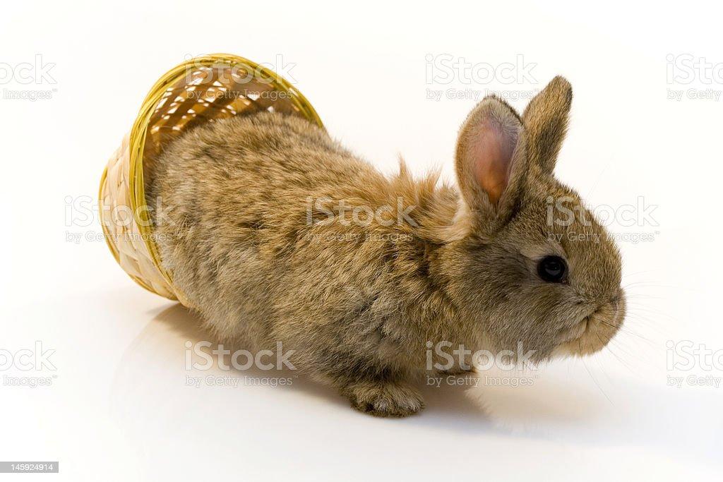 Small Rabbit royalty-free stock photo