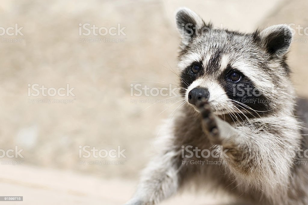 Small raccoon holding paw out in front of blurry background stock photo