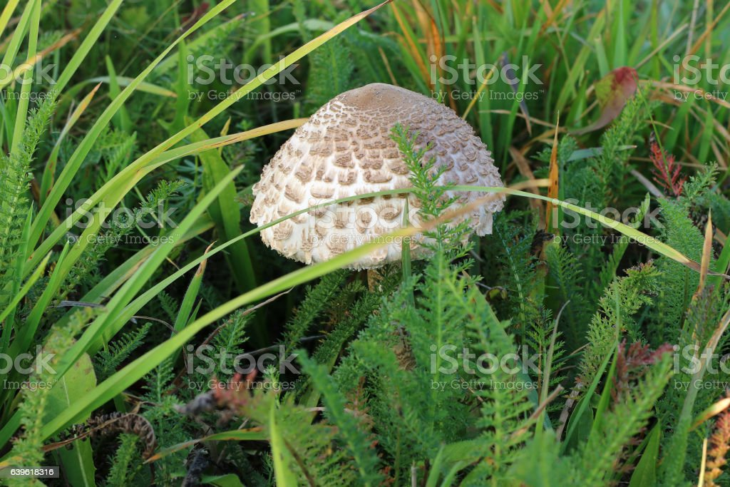 Small ragged parasol in the grass stock photo