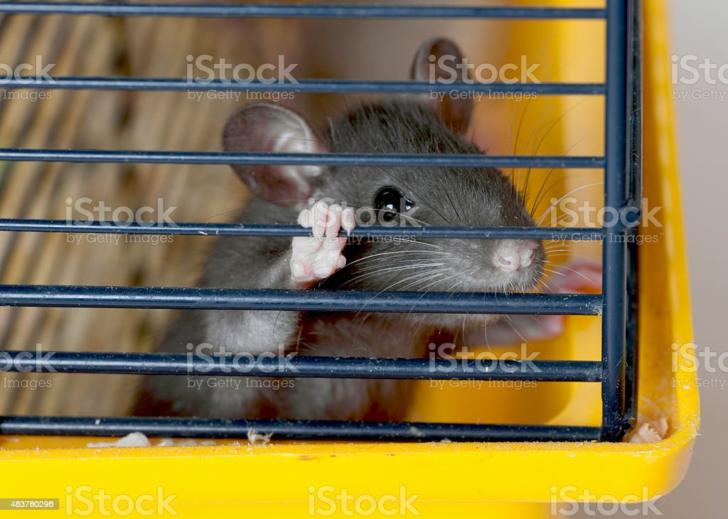 small rat in a cage stock photo