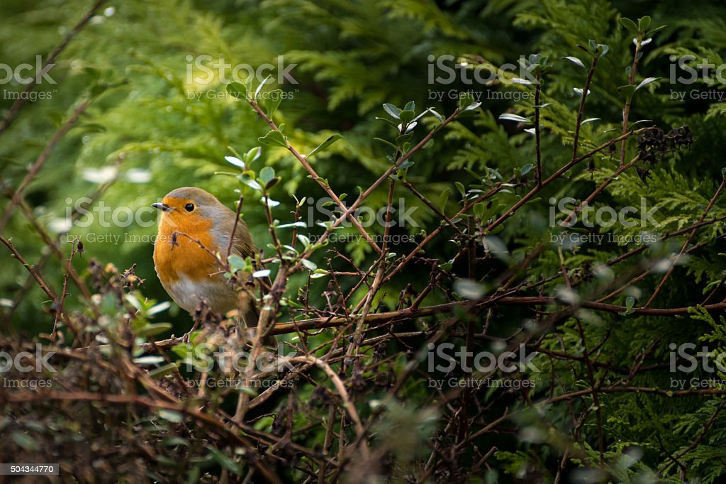 Small Red Breasted Robin Perched On A Branch In Bush. stock photo