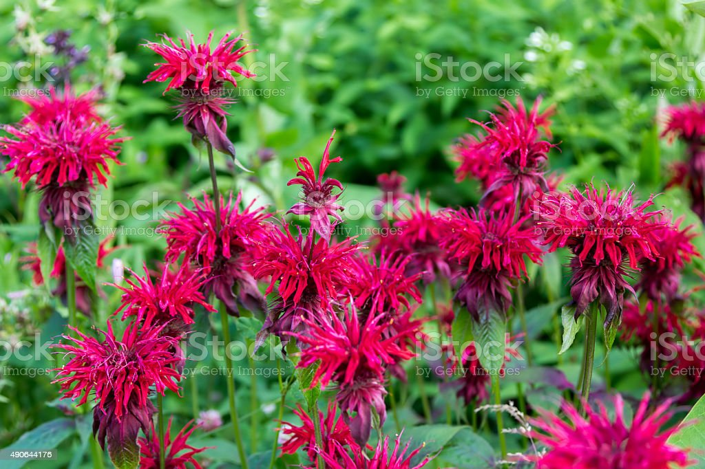 small red flowers in foliage closeup stock photo