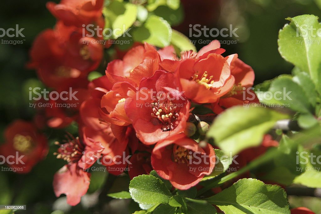 Small red flowers. royalty-free stock photo