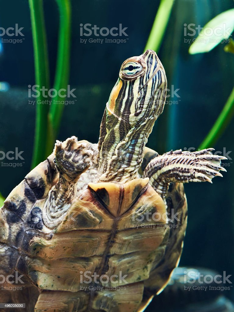 Small red-ear turtle stock photo