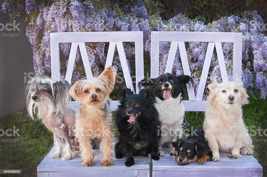 small rescue dogs on chairs by wisteria vine flowers stock photo