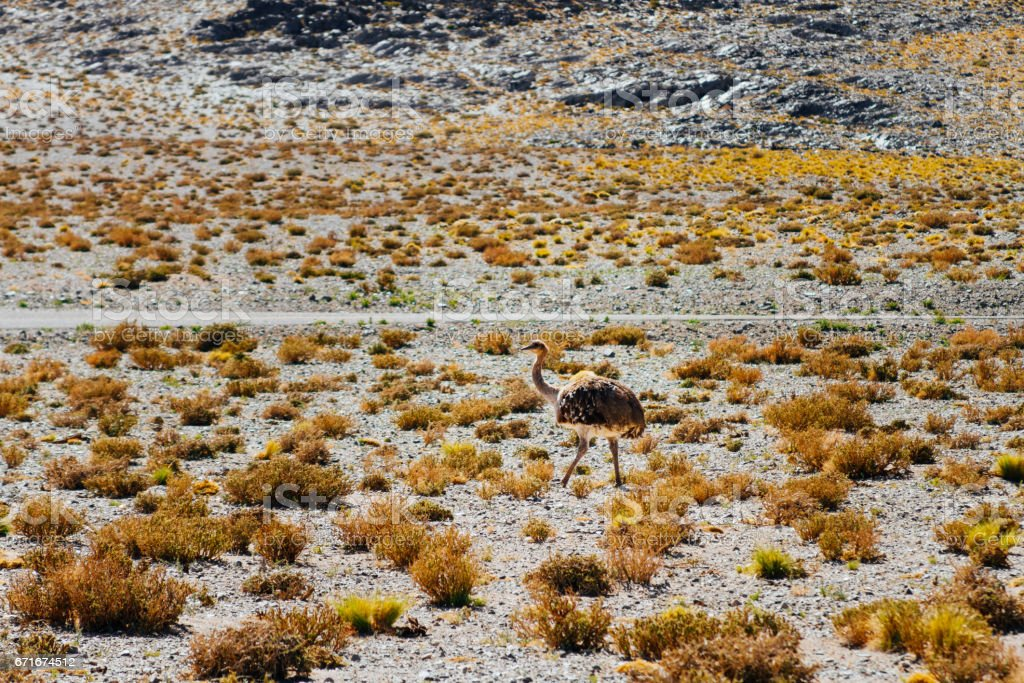 Small Rhea in the steppe of Catamarca, Argentina stock photo