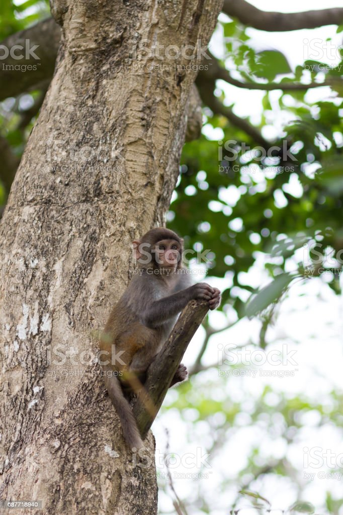 small rhesus monkey is sitting on a tree stock photo