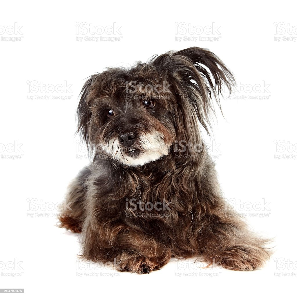 Small ridiculous mongrel stock photo