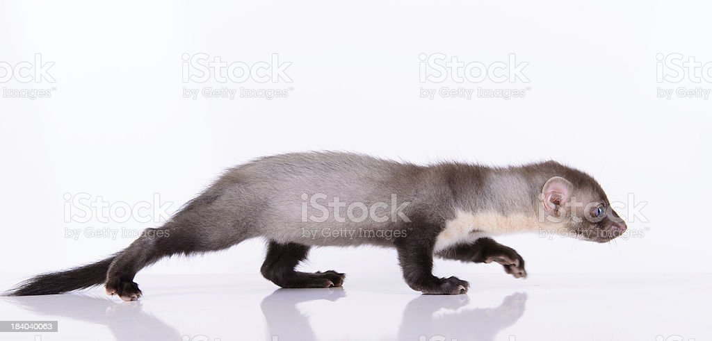 A small rodent animal on a white background stock photo