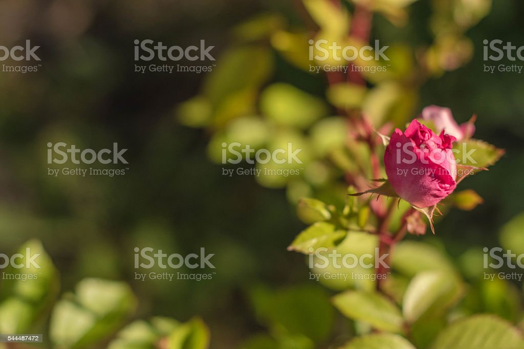 Small Rose Bud at mid right stock photo