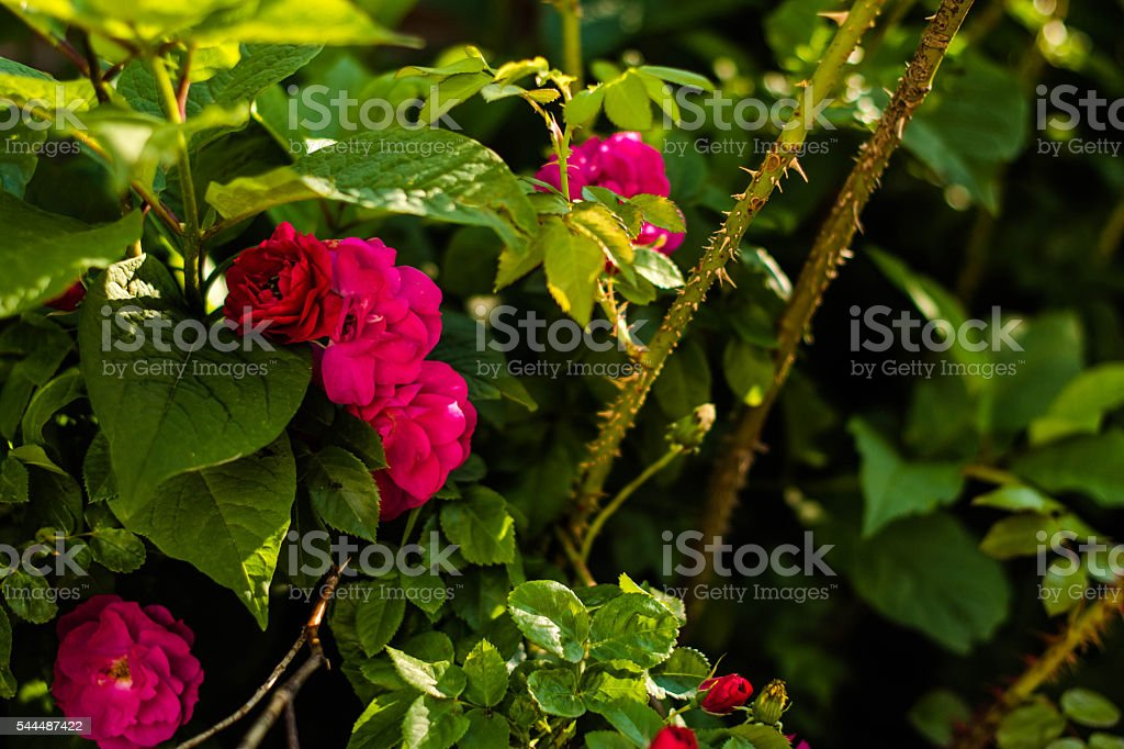 Small Roses and Thorns stock photo