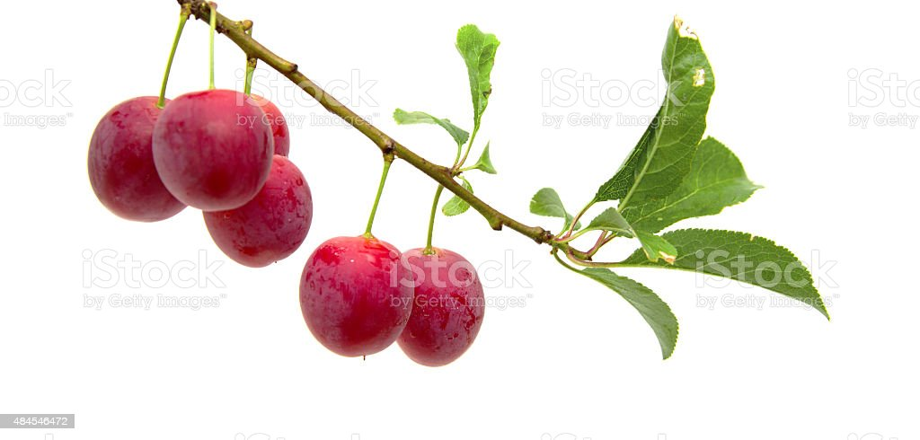 small round red wild plums stock photo