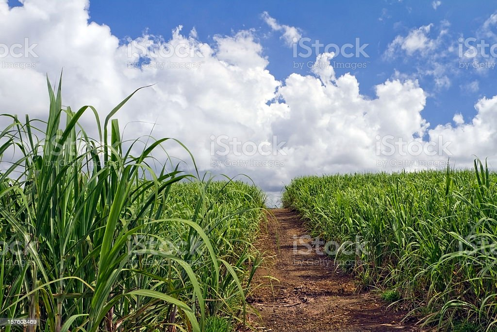 Small rural road crossing sugar cane fields towards white clouds stock photo
