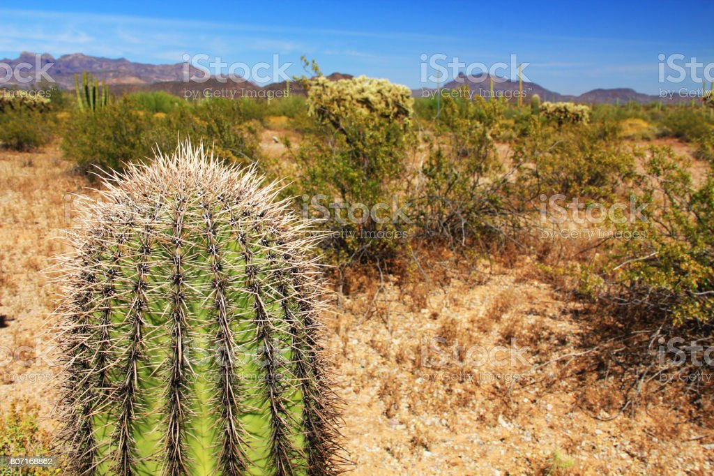 Small Saguaro Cactus in Organ Pipe Cactus National Monument stock photo