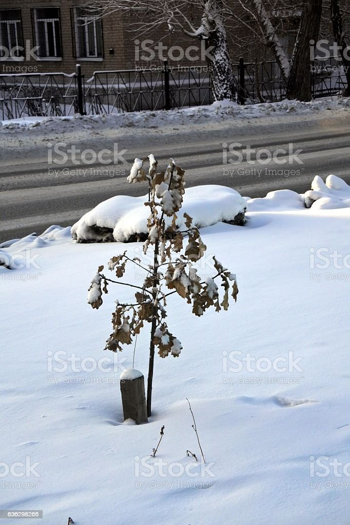 Small sapling of the oak under fluffy snow in the stock photo