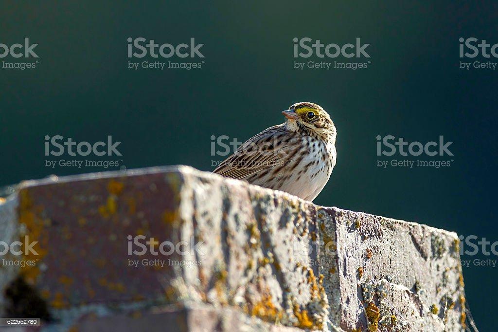 Small savannah sparrow. stock photo
