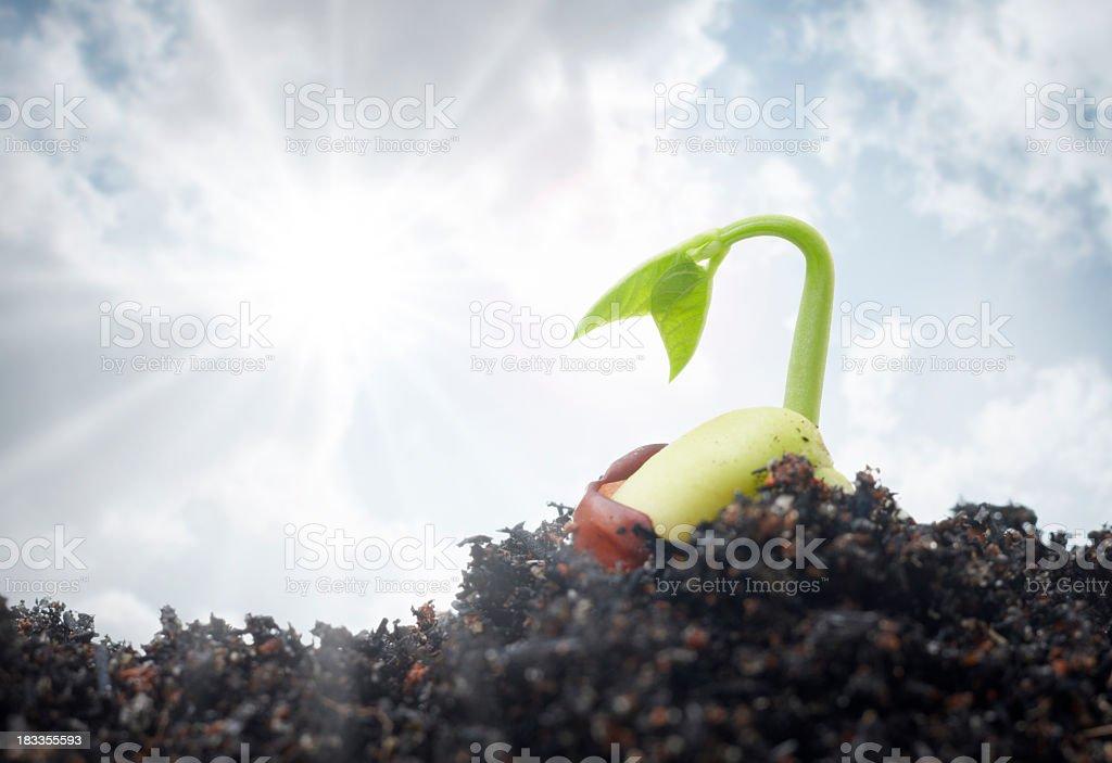 Small seedling beginning to grow stock photo