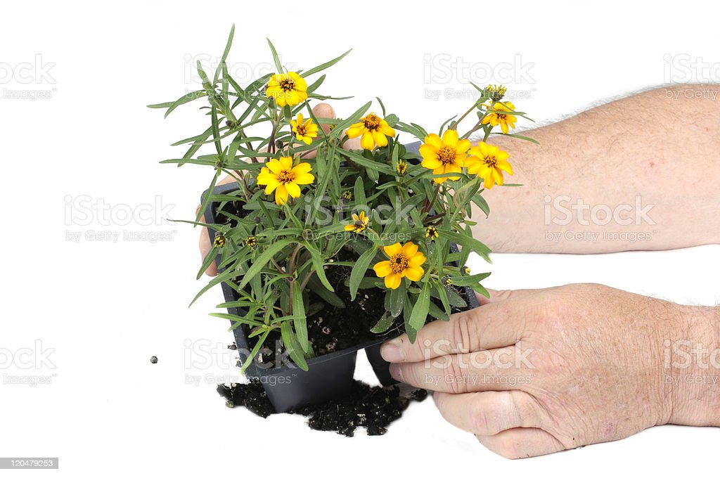 Small seedling flower ready for planting stock photo