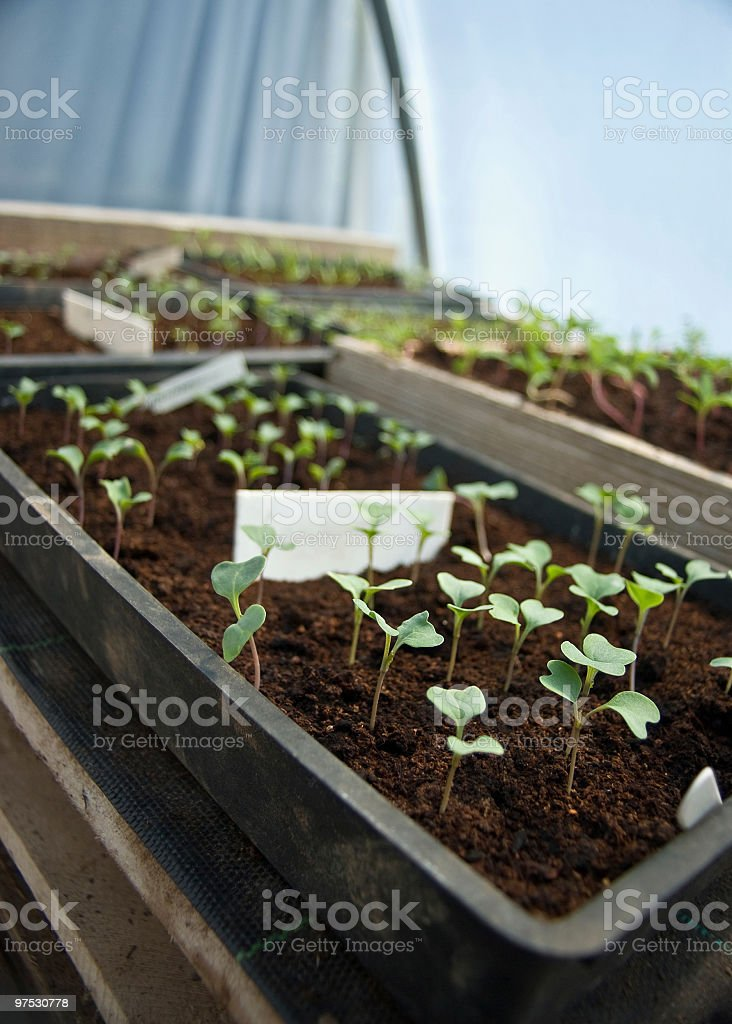 Small seedling sprouts in wooden box with blank white panel royalty-free stock photo