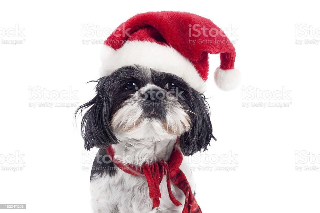 Kleine Shitzu Hund tragen Christmas Santa Hut auf weißem Hintergrund – Foto
