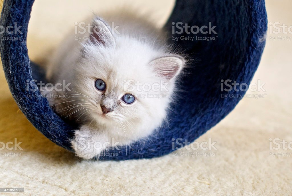 small siberian kitten playing stock photo