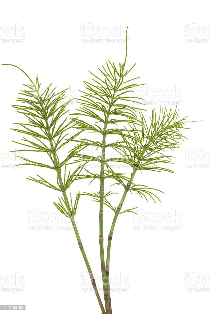 Small skinny plant in white background stock photo