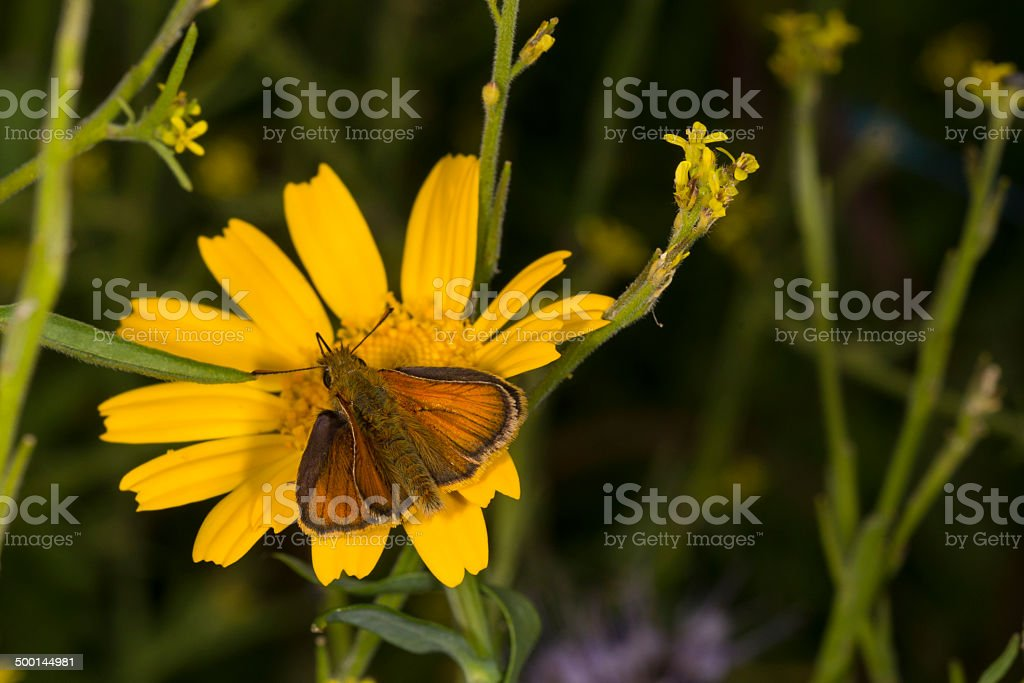 Small Skipper butterfly on Corn Marigold royalty-free stock photo