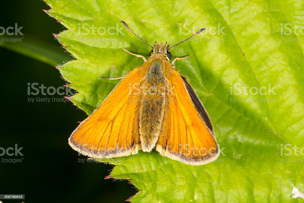 Small Skipper butterfly royalty-free stock photo