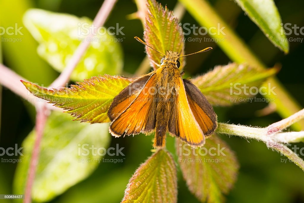 Small Skipper butterfly -  Thymelicus sylvestris royalty-free stock photo