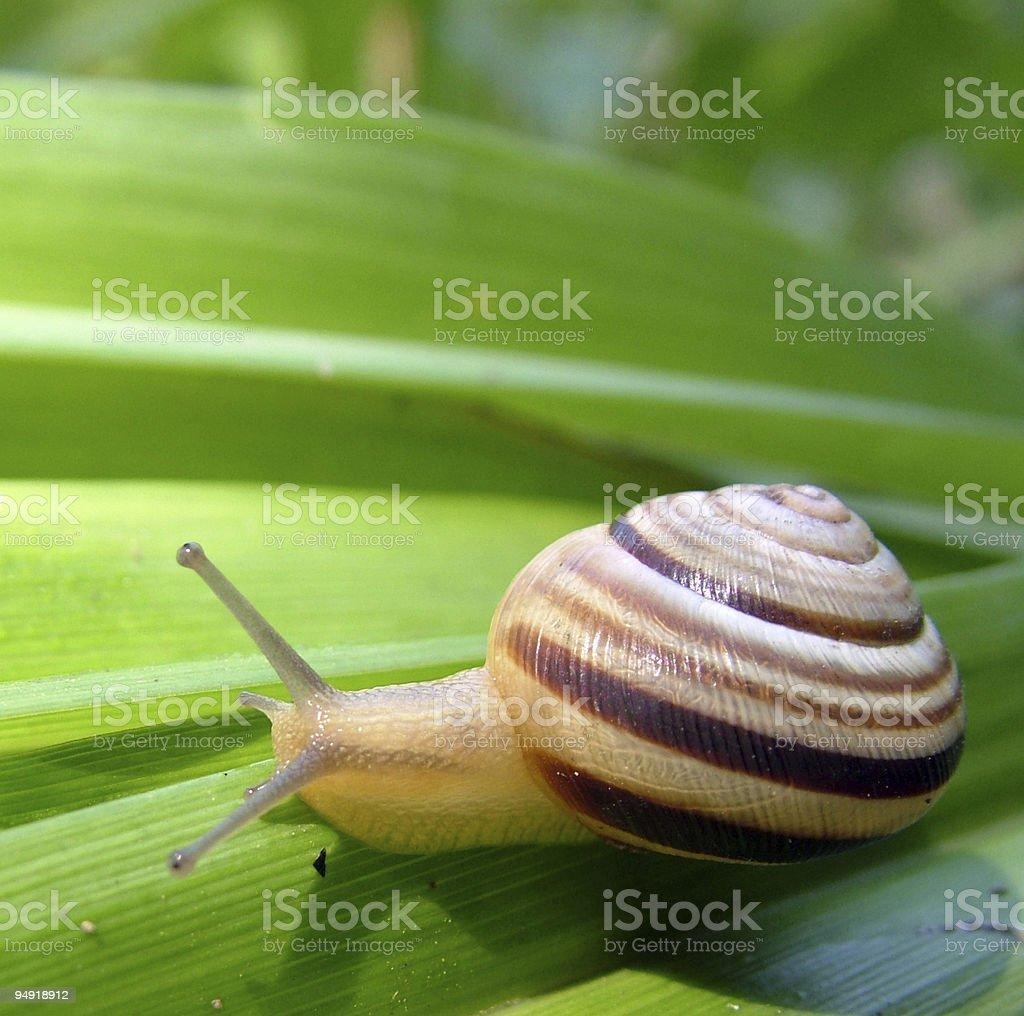 Small snail royalty-free stock photo