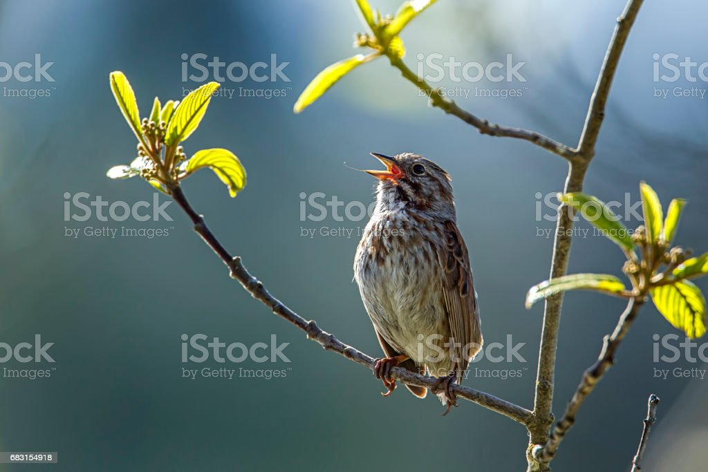 Small song sparrow on branch. stock photo