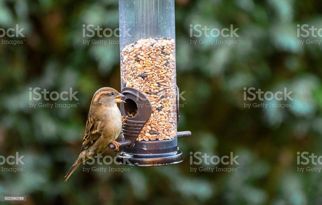 Small Song Thrush Bird Feeding In Winter Garden. stock photo